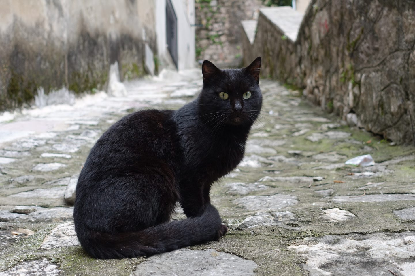 cats in kotor montenegro